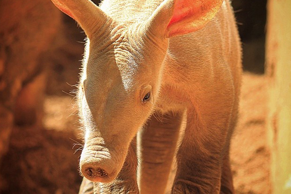 Aardvark baby named!