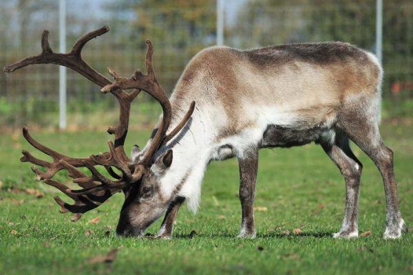 Reindeer Experience
