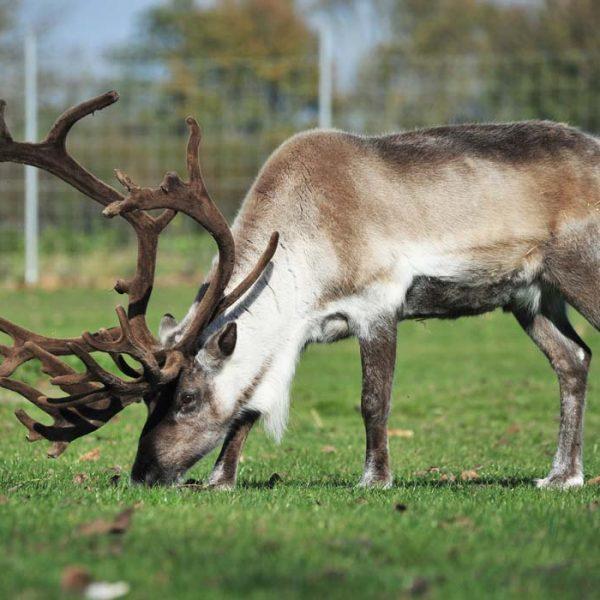 Reindeer in a grass field