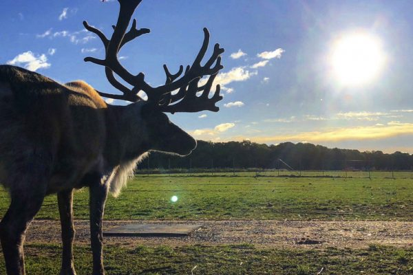 Reindeer in a field