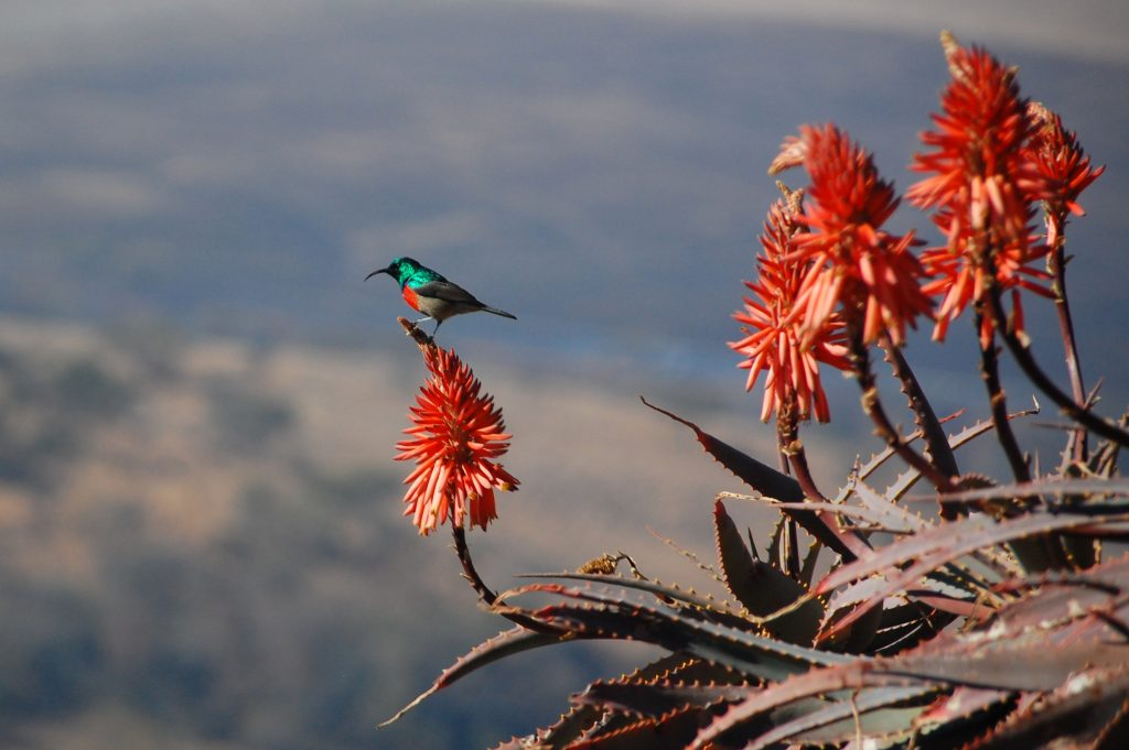 Sunbird on a flower in South Africa