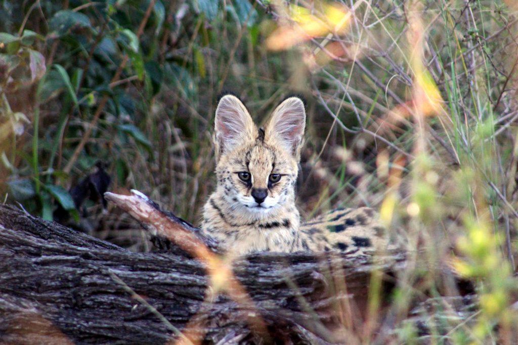 Serval Cat behind a log looking at camera