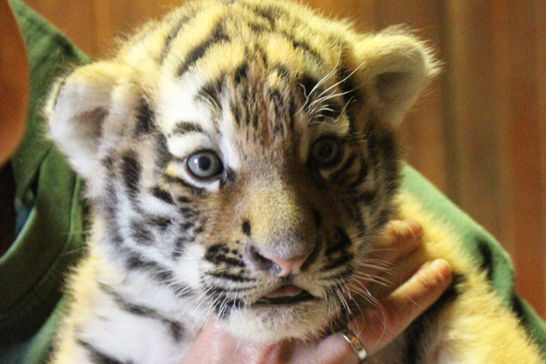 Tiger cubs begin to venture out of their den and their genders are revealed!