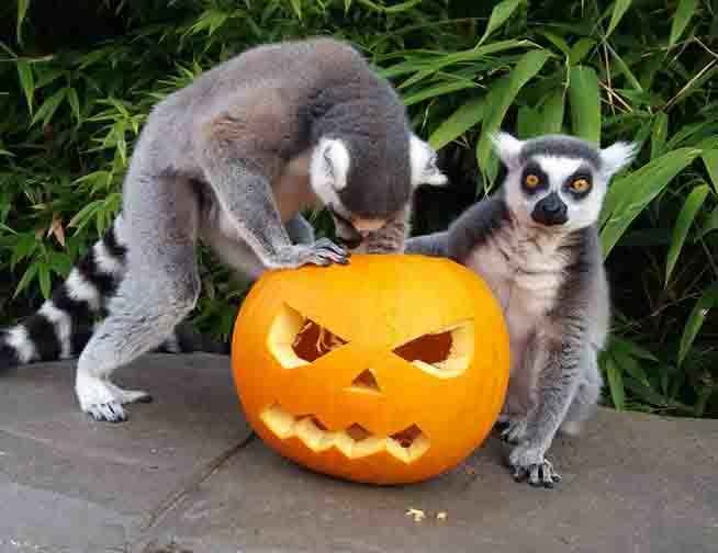 Two ring-tailed lemurs playing with a carved pumpkin