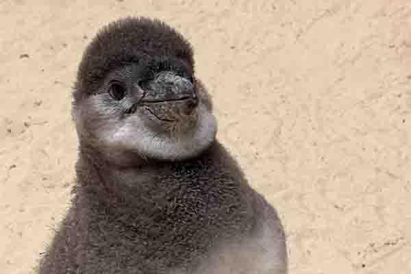 Adorable penguin chicks hand-reared