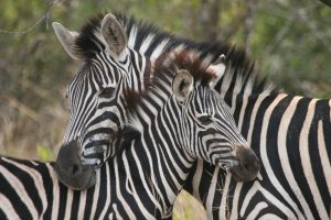 Zebra and calf at UmPhafa