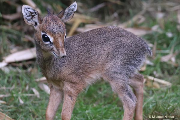 Cute tiny antelope calf born at Colchester Zoo!