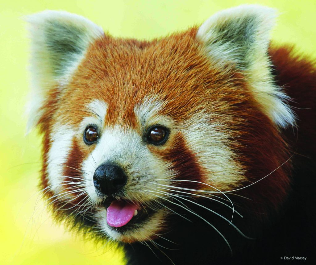 Close up of a red panda's face