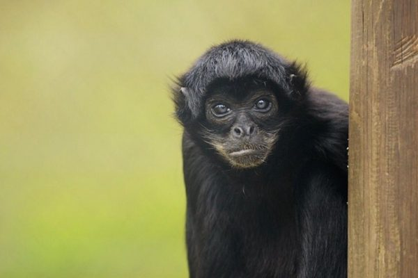 Sad passing of spider monkey