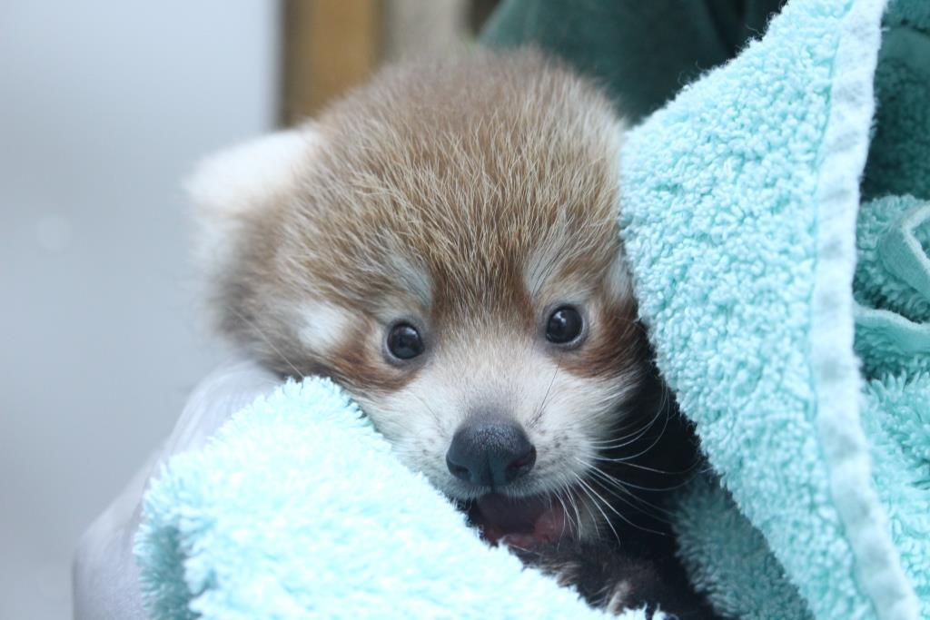 Adorable Red Panda Cubs Born!