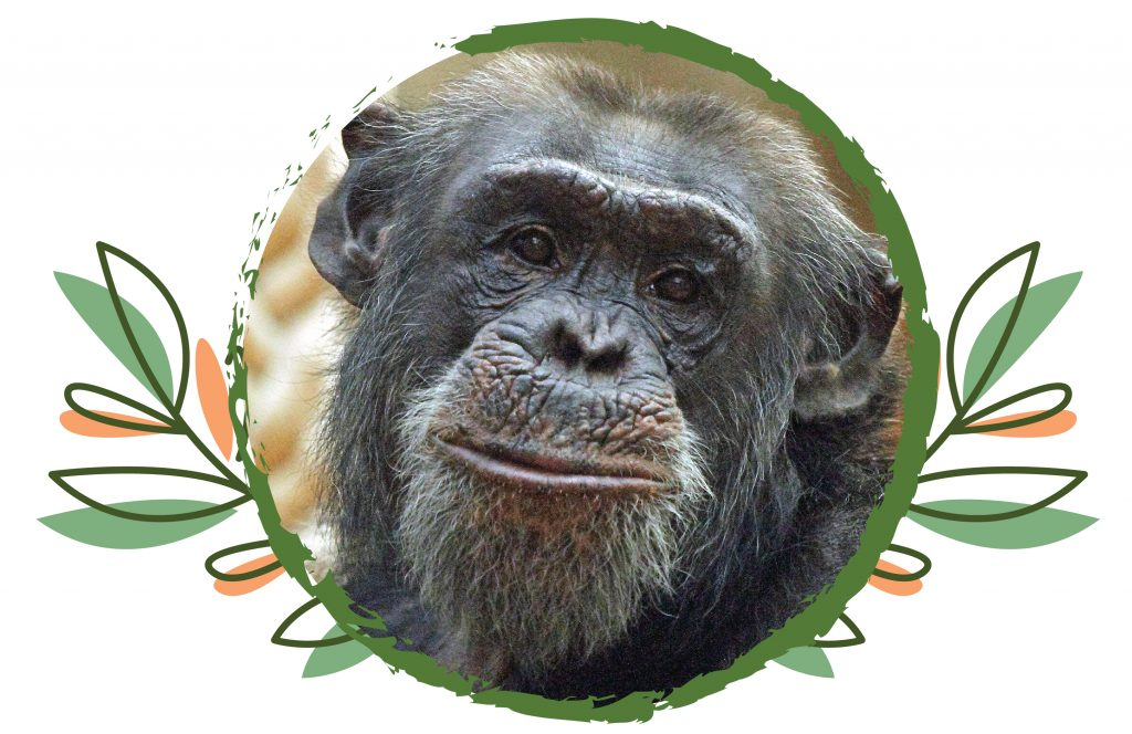 Face of Pippin the Chimpanzee surrounded by an illustrated leaf border