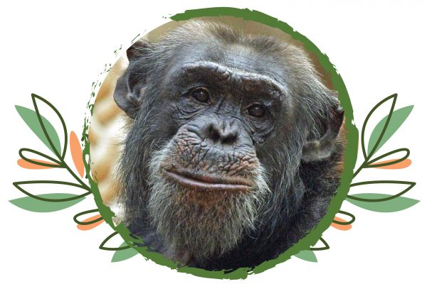 Sad farewell to Pippin the Chimpanzee