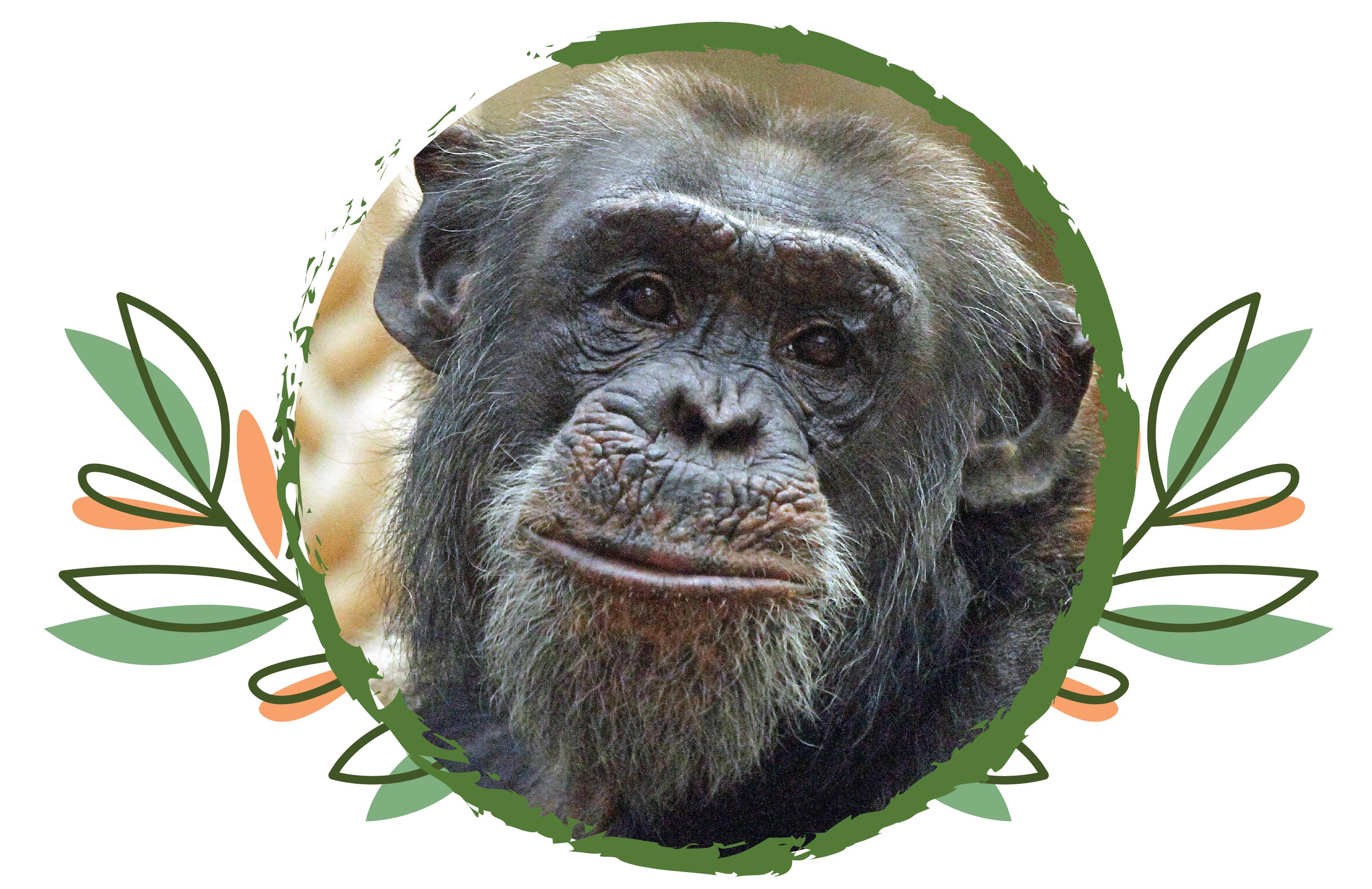 Sad farewell to Pippin the Chimpanzee