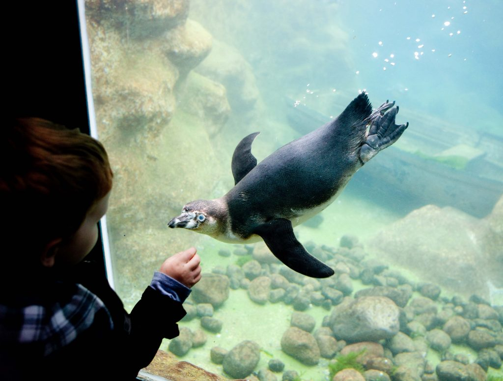 Small child looking at penguin from underwater viewing window.
