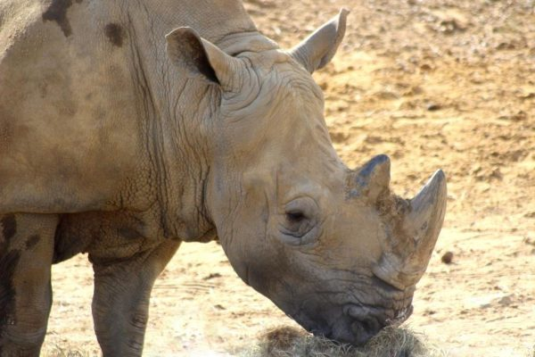 Flossy, the white rhino