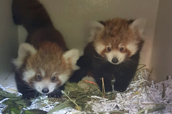 Adorable Red Panda Cubs named!