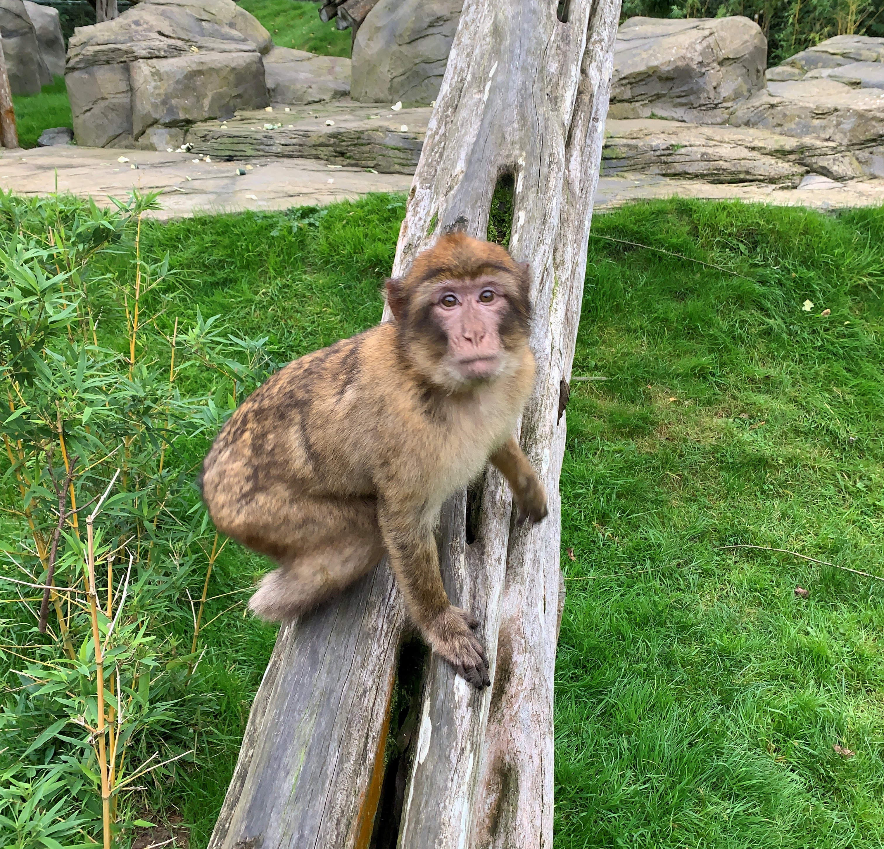 Return of the Macaque!