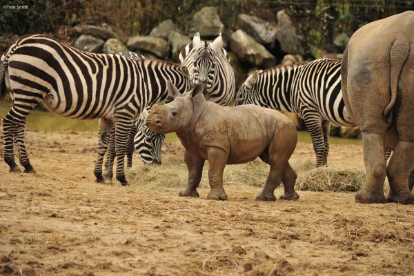 Rhino calf gets to know her neighbours!