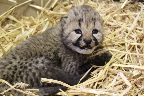 Cheetah Cubs Continue to Grow