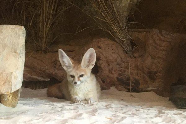 Otis the Fennec Fox