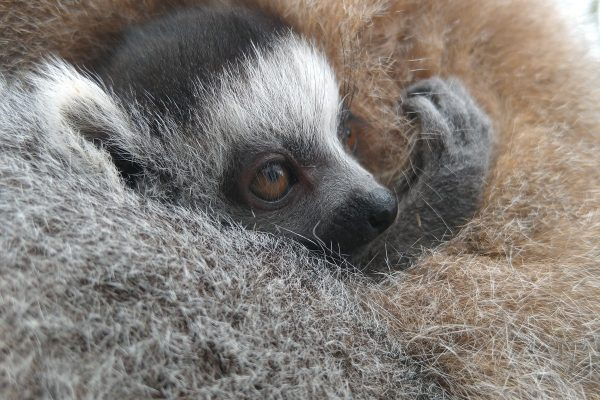 Ring-tailed lemur babies born!