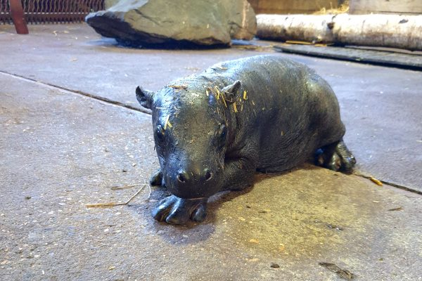 Pygmy hippo born at Colchester Zoo!