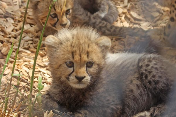Our cheetah cubs have been named!