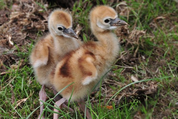 Crowned Crane chicks hatch!