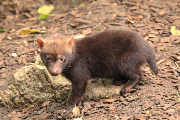 Our three Bush dog pups have been named!