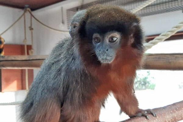 Coppery Titi Monkey is born!
