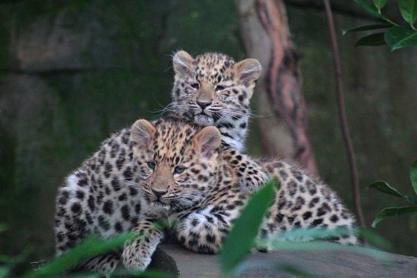 Amur Leopard Twins turn 1!