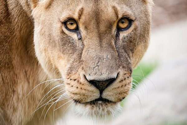 Colchester Zoo mourns the passing of beautiful Lioness Malika