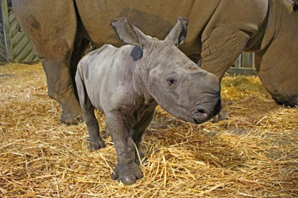 6th White rhino calf born at Colchester Zoo!