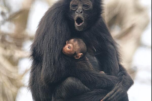 Spider Monkey baby born!