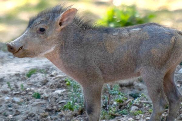 Warthog Babies Born