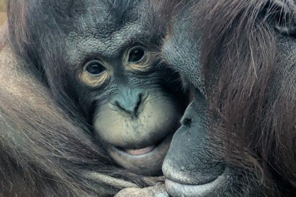Mali & Tatau join Tiga at Rajang's Forest
