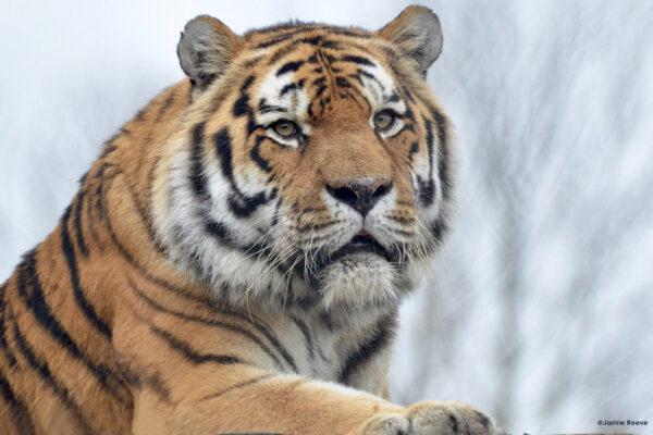 Farewell to Amur Tiger Igor